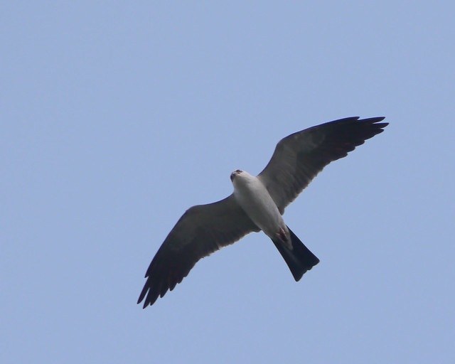 Mississippi Kite - 2