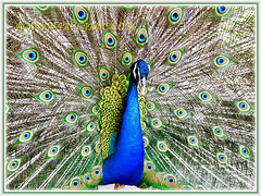 Peacock showing off its iridescent colouration and beautiful eyeshpot