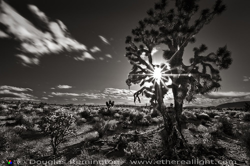 Joshua Tree and Sunstar, Nevada B+W