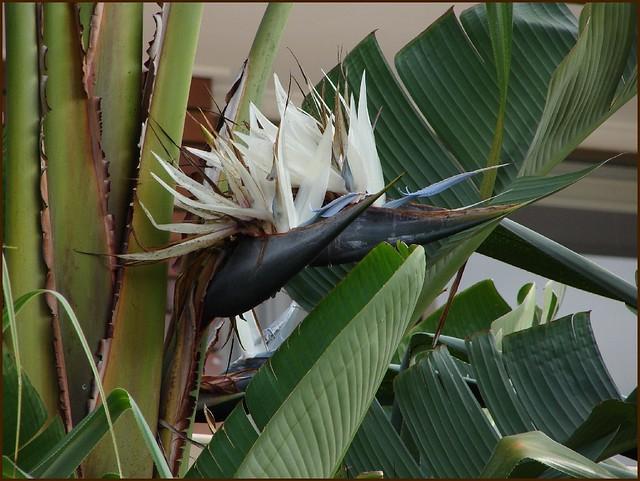 White bird of paradise houseplant - photo#5