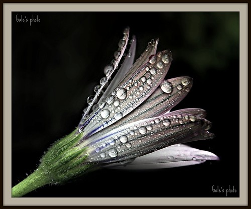 Cape daisy with dewdrops.