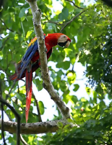 Scarlet Macaw, Carara National Park