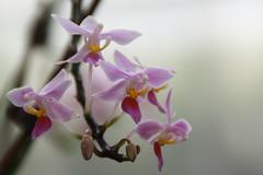 blossom(0.0), cattleya labiata(0.0), cattleya trianae(0.0), flower(1.0), purple(1.0), plant(1.0), macro photography(1.0), phalaenopsis equestris(1.0), flora(1.0), close-up(1.0), plant stem(1.0), pink(1.0), petal(1.0),