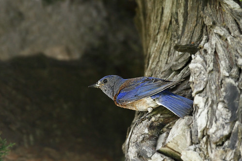 Male Western Bluebird (Sialia mexicana) at the nesting hole....1