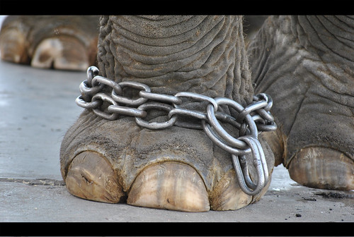 Elephant Chained