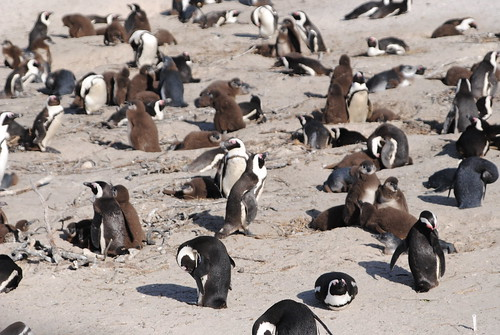 Visit the colony of penguins at Boulders Beach.