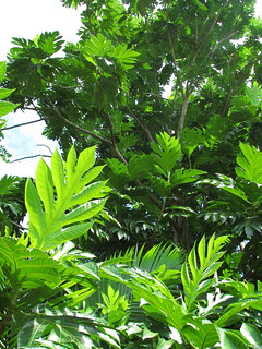 Breadfruit tree, Artocarpus altilis