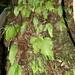Small photo of Streptocarpus cf pentherianus (Gesneriaceae)