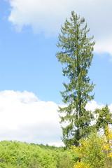 Massive Norway Spruce