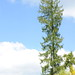 Small photo of Massive Norway Spruce