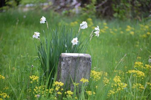 old flowers white memory gravestone daffodils sacandaga