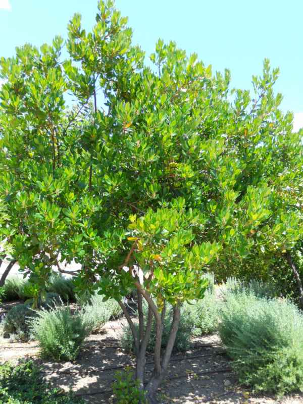 Arbustus unedo v 1