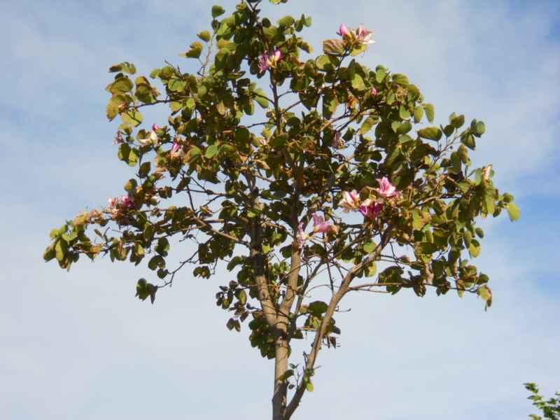 Bauhinia purpurea copa 1