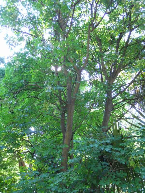 Fraxinus ornus v 1