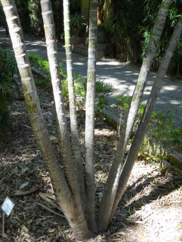Chrysalidocarpus lutescens troncos v 2