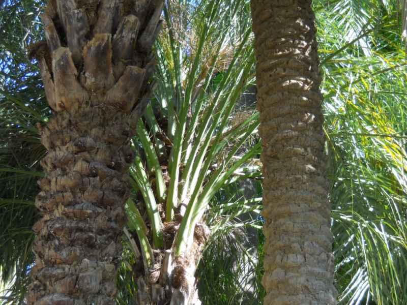Phoenix dactylifera tronco 3