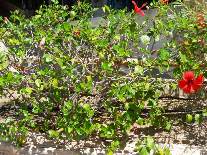 Hibiscus rosa sinensis 'Bordeaux' 2