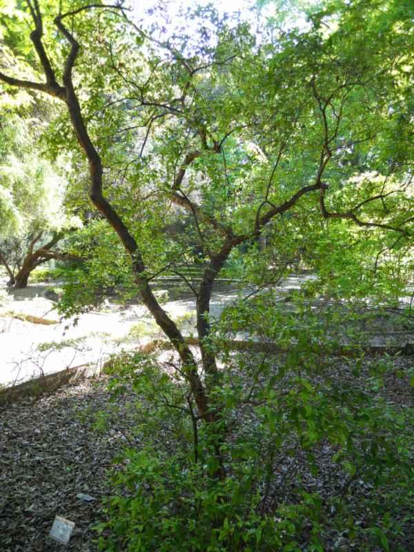 Myrtus communis v 2