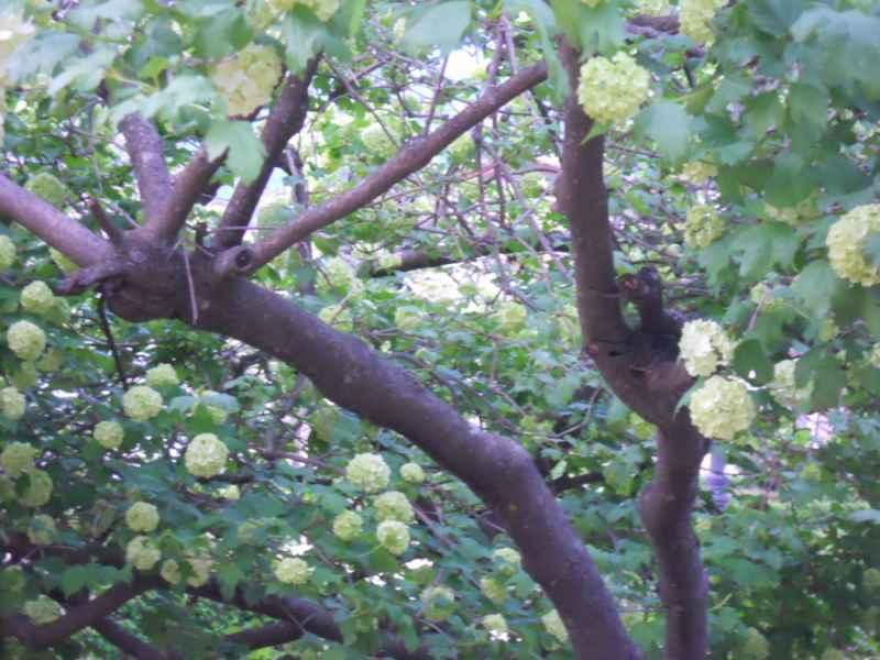 Viburnum opulus 'Roseum' árbol 3
