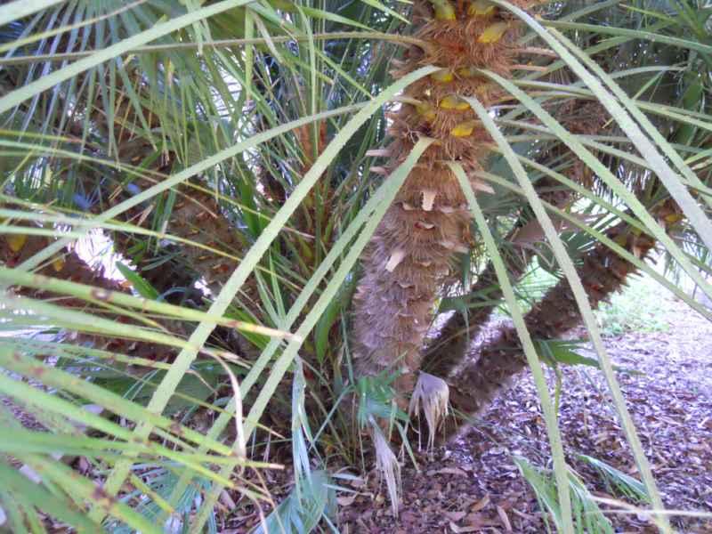 Chamaerops humilis tronco 3