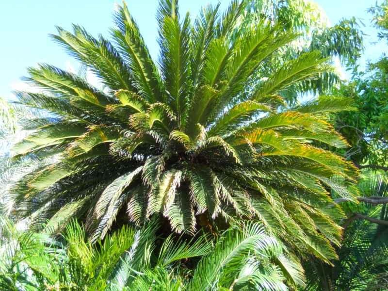 Jardineros en acci n tipos de palmeras de jard n for Palmeras de exterior