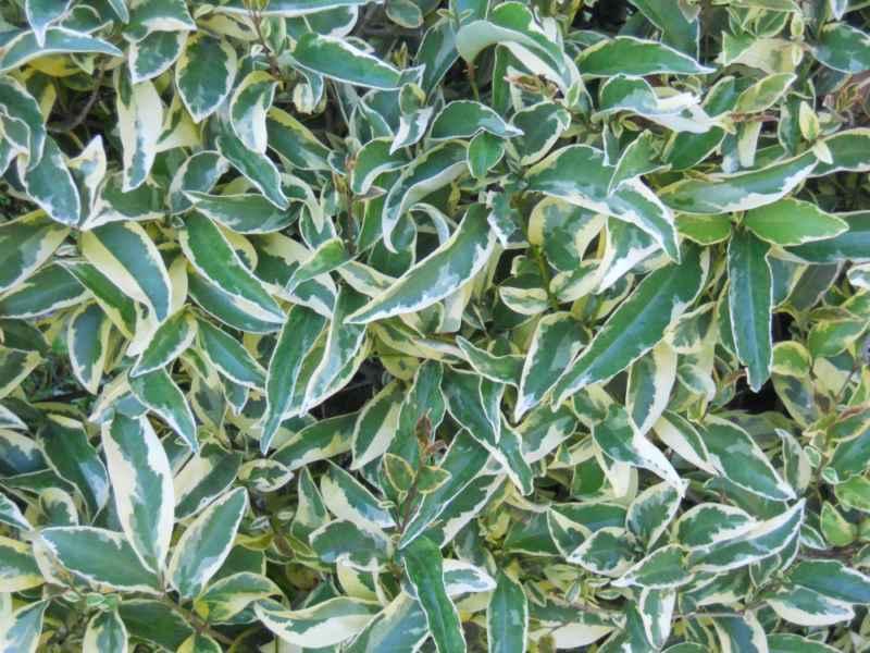 Ligustrum lucidum 'Excelsum Supremum' 2