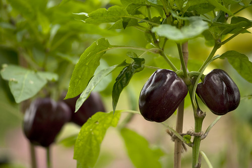 Capsicum annuum var. annuum 'Purple Star'; Photo by Ivo M. Vermeulen