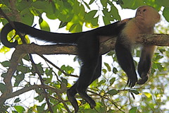 ape(0.0), animal(1.0), branch(1.0), monkey(1.0), mammal(1.0), capuchin monkey(1.0), fauna(1.0), spider monkey(1.0), old world monkey(1.0), new world monkey(1.0), jungle(1.0), wildlife(1.0),