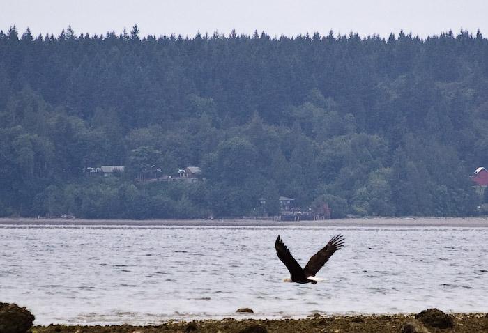 Weekend. Bald Eagle.