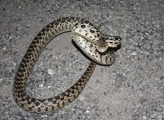 pacific gopher snake  pacific gopher snake by