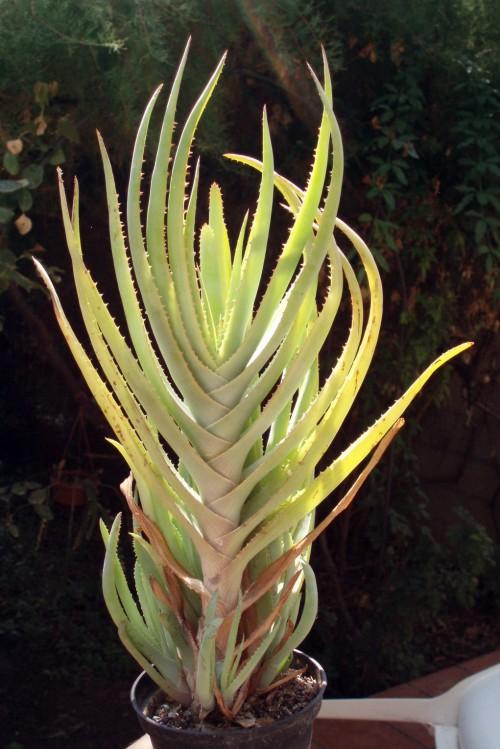 Aloe lineata 4822673893_72ee2241a0_o