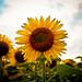 sunflower by _.Chris._