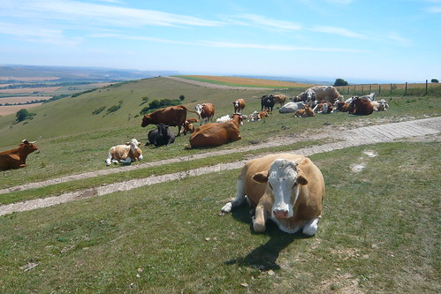 Cows on the South Downs