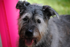 dog breed(1.0), animal(1.0), berger picard(1.0), dog(1.0), schnoodle(1.0), pumi(1.0), pet(1.0), glen of imaal terrier(1.0), standard schnauzer(1.0), vulnerable native breeds(1.0), irish wolfhound(1.0), schnauzer(1.0), catalan sheepdog(1.0), cairn terrier(1.0), miniature schnauzer(1.0), carnivoran(1.0), scottish terrier(1.0), terrier(1.0),
