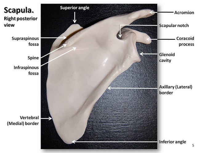 Scapula, posterior view with labels - Appendicular ...