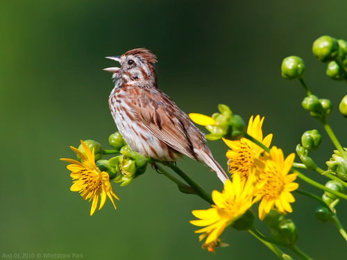 bird nature canon wildlife songsparrow melospizamelodia eos40d slbsinging flickrsbestcreatures ef500mmf40lusmis