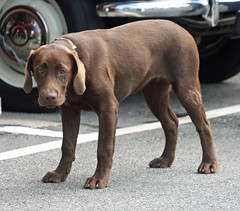 puppy(0.0), dog breed(1.0), labrador retriever(1.0), animal(1.0), dog(1.0), pet(1.0), mammal(1.0), weimaraner(1.0), chesapeake bay retriever(1.0),