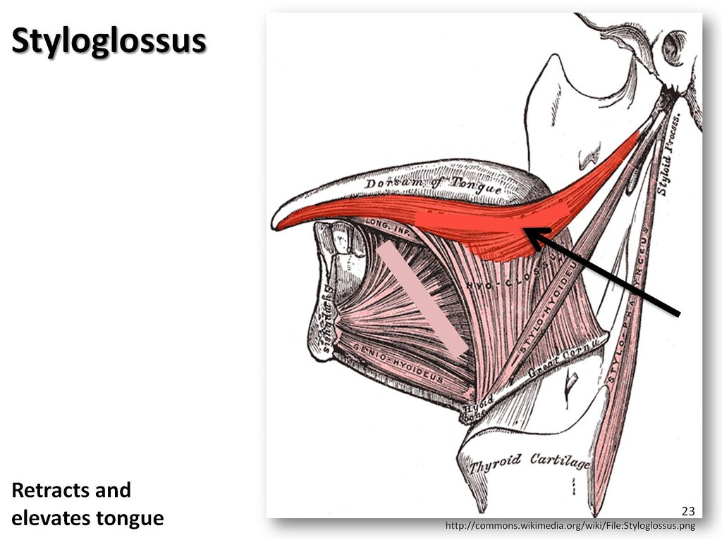 Styloglossus - Muscles of the Upper Extremity Visual Atlas, page 23 ...