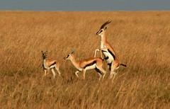 animal, prairie, antelope, gemsbok, springbok, plain, mammal, herd, fauna, savanna, grassland, safari, gazelle, wildlife,