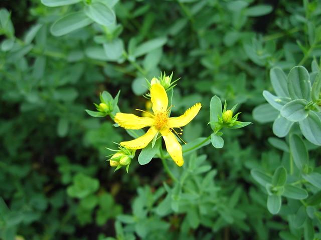 St. John's Wort (Hypericum perforatum) in the Herb Garden. Photo by Rebecca Bullene.