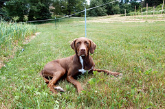 labrador retriever, animal, dog, weimaraner, german shorthaired pointer, hunting dog, carnivoran, vizsla,