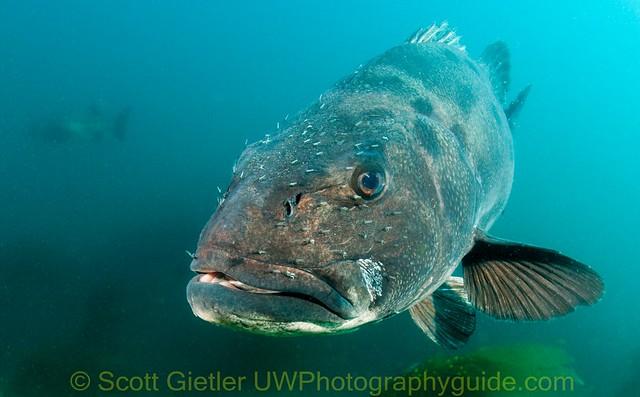 Giant Black Sea Bass   Flickr - Photo Sharing!