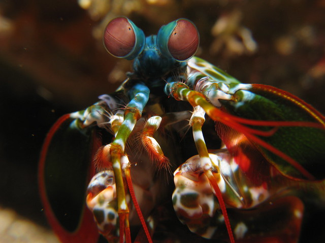 Mantis Shrimp macro - Odontodactylus scyllarus
