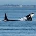 Killer whales by Remedy_Kiua