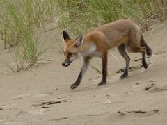 red wolf(0.0), grey fox(0.0), wolfdog(0.0), dhole(0.0), saarloos wolfdog(0.0), animal(1.0), dingo(1.0), czechoslovakian wolfdog(1.0), mammal(1.0), jackal(1.0), fauna(1.0), red fox(1.0), kit fox(1.0), wildlife(1.0),
