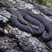 Small photo of Adder