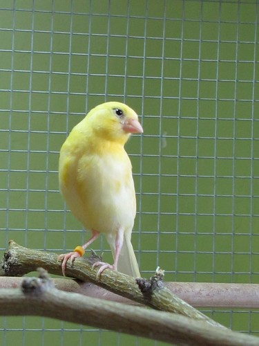 Canaries in their flight cage