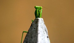Am Praying Mantis.