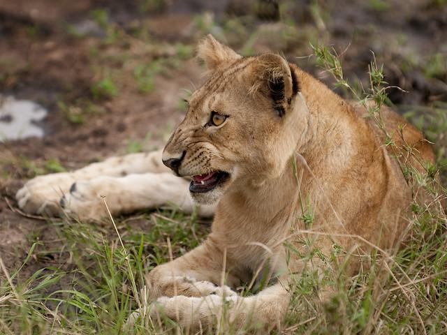Sani Lion