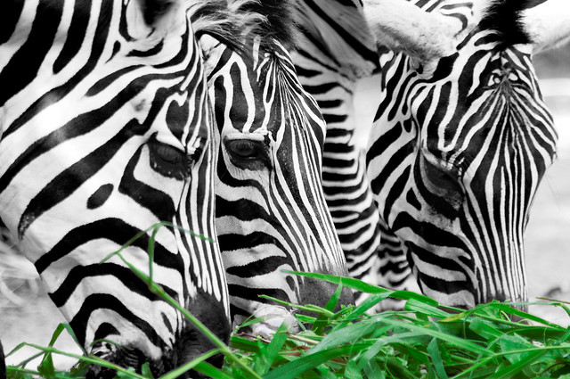 Color Key Week – Zebras pleasure